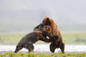 ursul-grizzly-1
